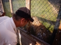Feeding the tiger